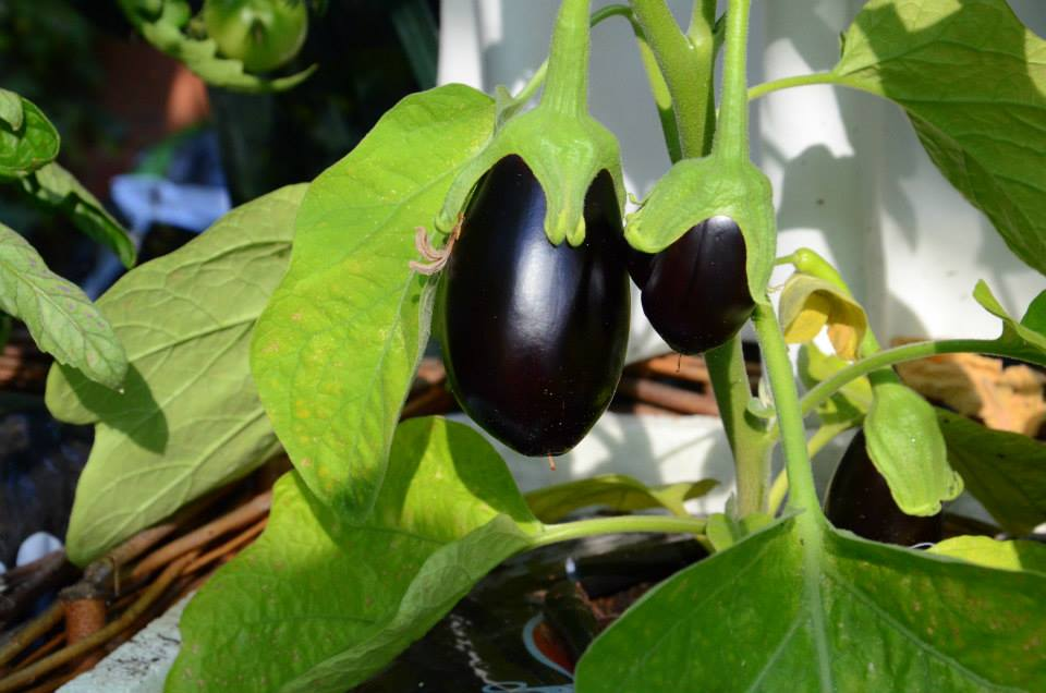 marias aubergine